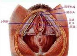 美女的尿道
