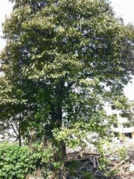 治疗前列腺炎特效药_厚壳树_360百科