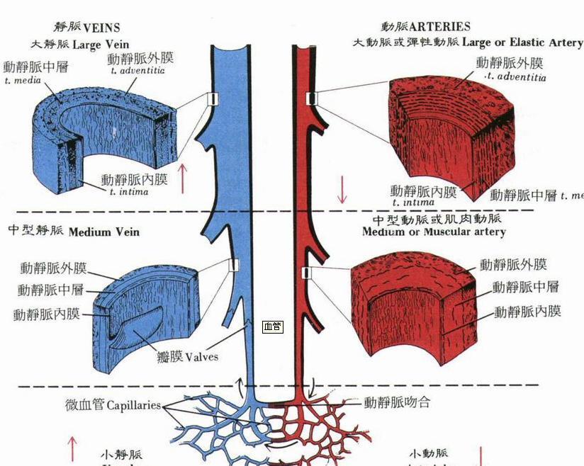 动脉组织结构图