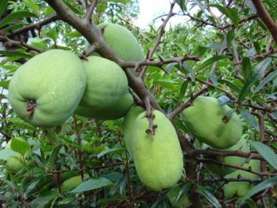 这是木瓜树是酸木瓜树,别名木瓜实,铁脚梨,秋木瓜,木瓜,蔷薇科木瓜属