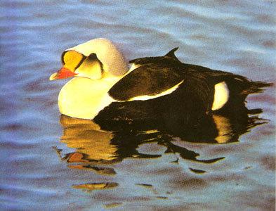 动物尾巴图片鸭子