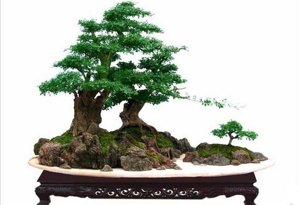 白蜡树盆景图片欣赏及养护技术