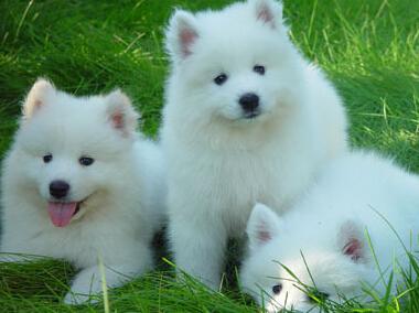 萨摩耶犬大概多少钱 价格不会偏差很大