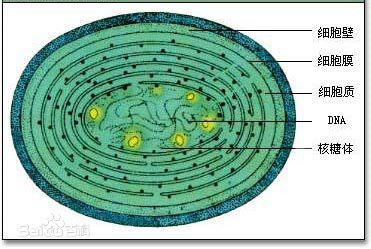 蓝藻和水绵在细胞结构上最明显的区别是什么