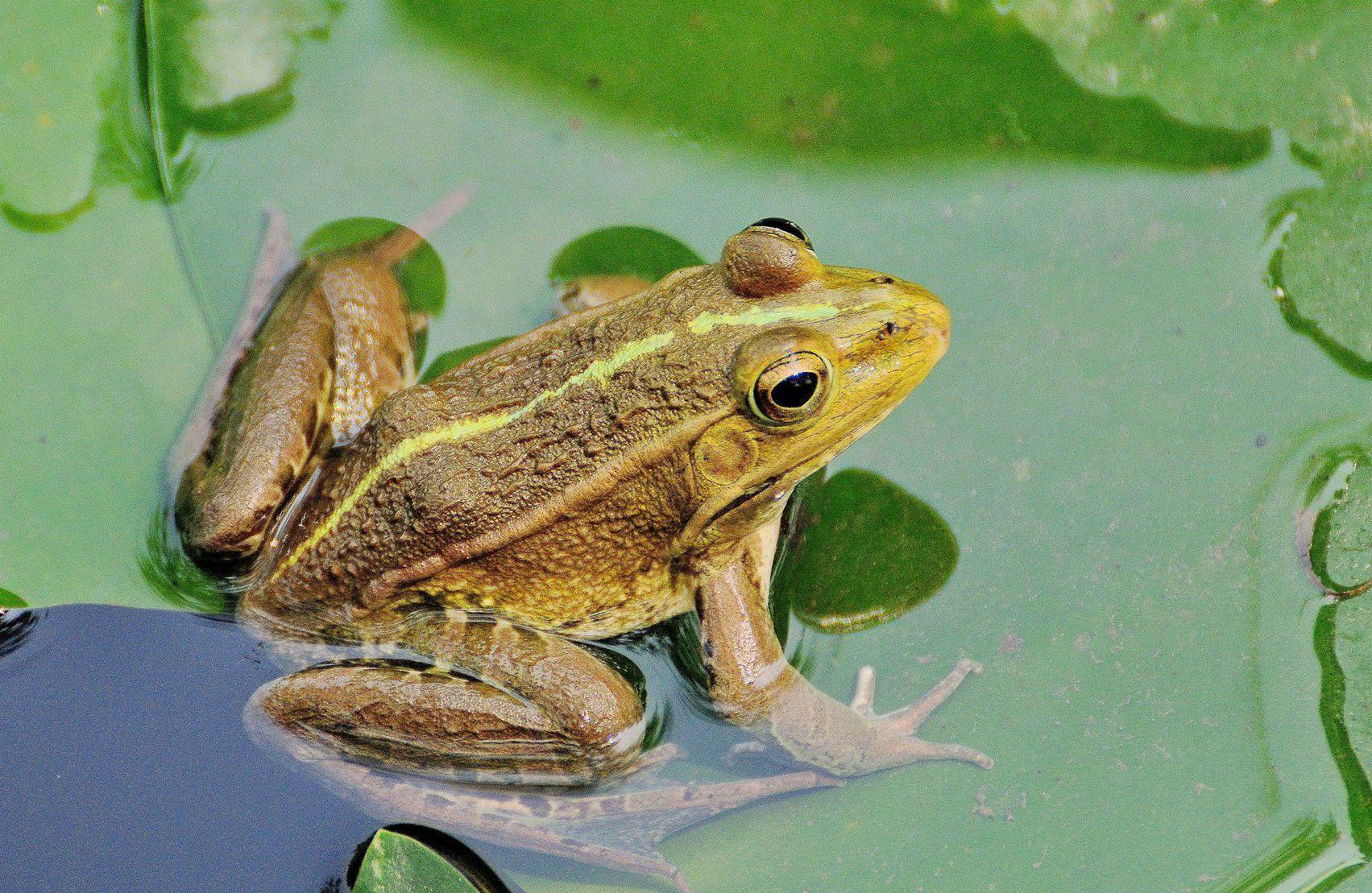 壁纸 动物 两栖 蛙 1703_1109