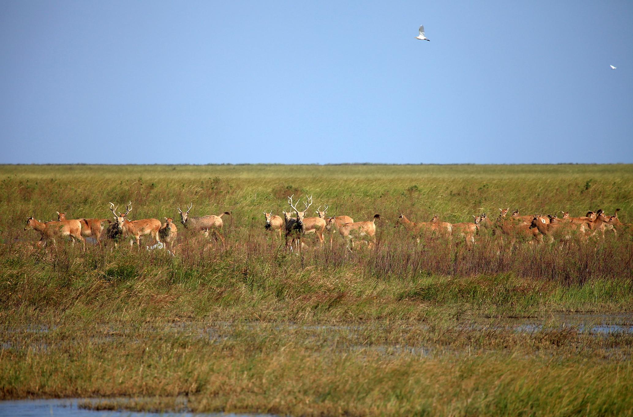 合作从英国伦敦的七家动物园引种39头麋鹿到保护区