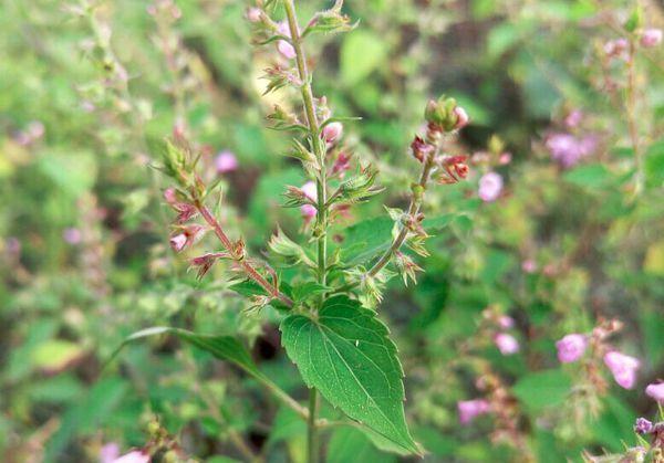 请教这是什么植物,爬山时候路边看到的,唇形科的什么草呢,想知道学名图片
