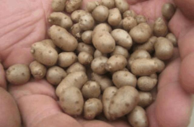 农村的这种小豆子,竟然是男人的福音 -  - 真光 的博客