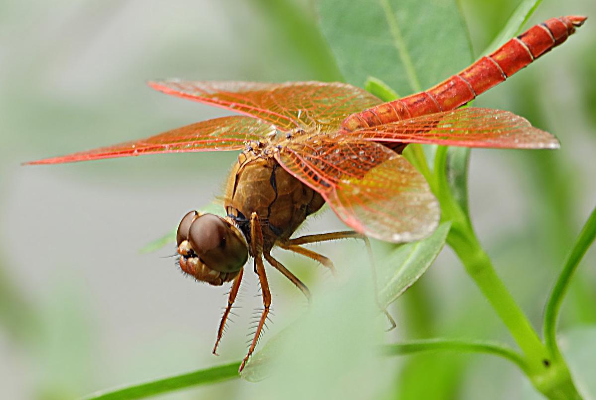 条形花纹动态蜻蜓